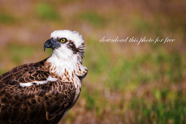 A Free Fine Art Photo of an Osprey