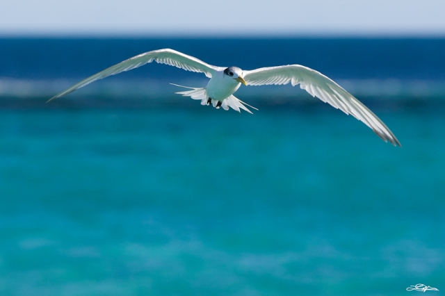 A Tern in flight with an ocean background