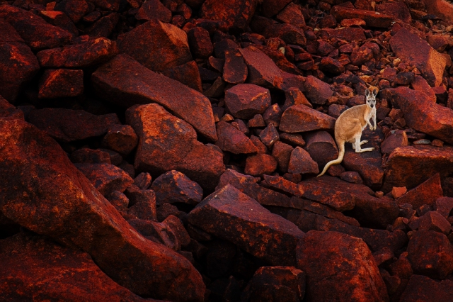A Kangaroo photographed at Hearson's Cove, Western Australia