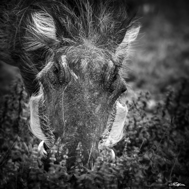 A warthog eating grass in the Kruger National Park
