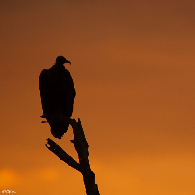 A White Backed Vulture perched on a dead tree in Africa