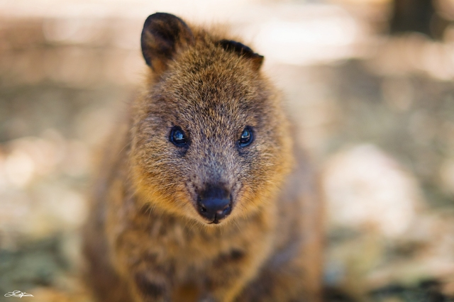 Free Fine Art Photography - November 2012 - Quokka