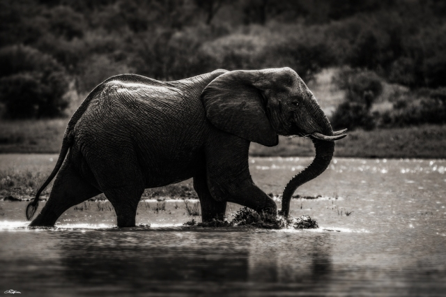 African Elephant 011